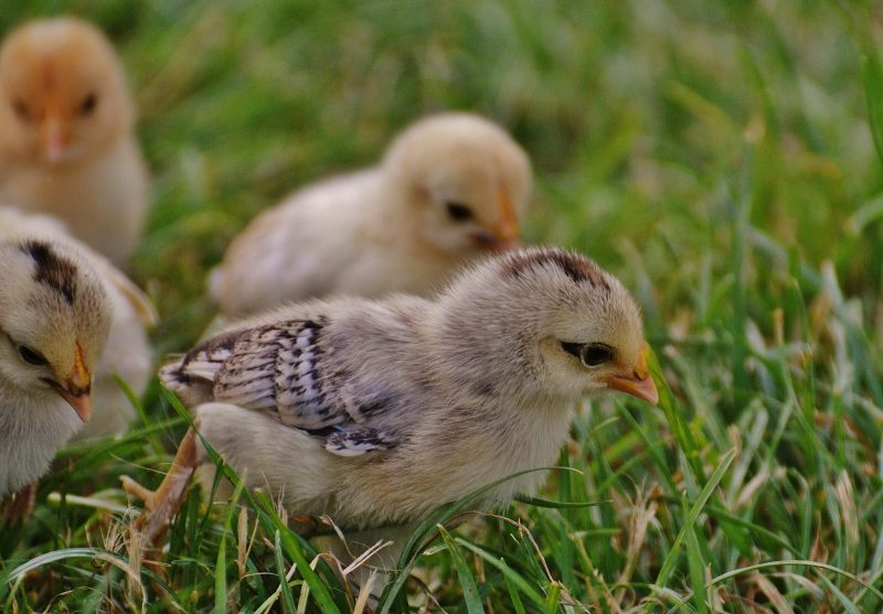 Raising Chicks and Chickens for Beginners: Tips for Raising Baby Chicks