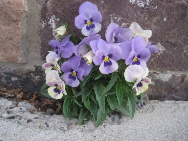 These Pansies are Thriving in a Tough Environment