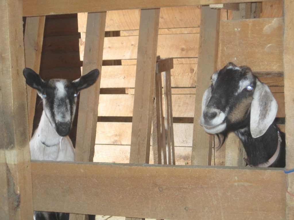 two dairy goats in their barn