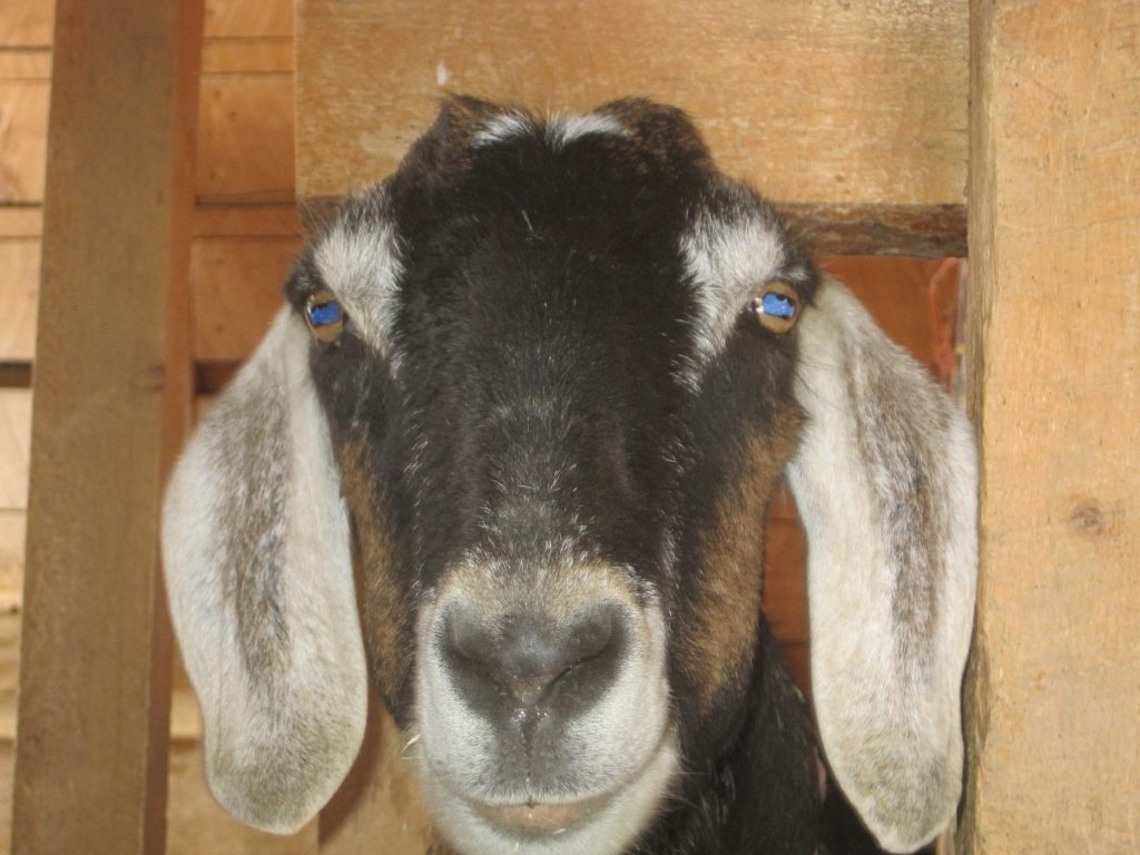 Learn the Basics of Dairy Goats ~ Goat Milk
