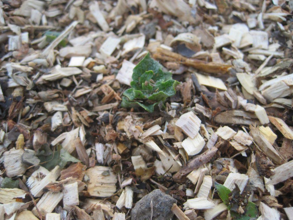 Wood Chip Mulch On Potato Plant