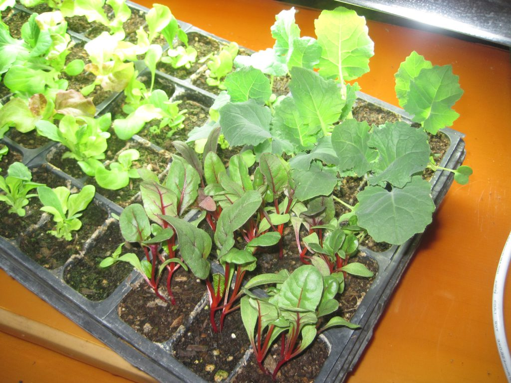 Small Kale, Chard and Lettuce Seedlings Growing Indoors
