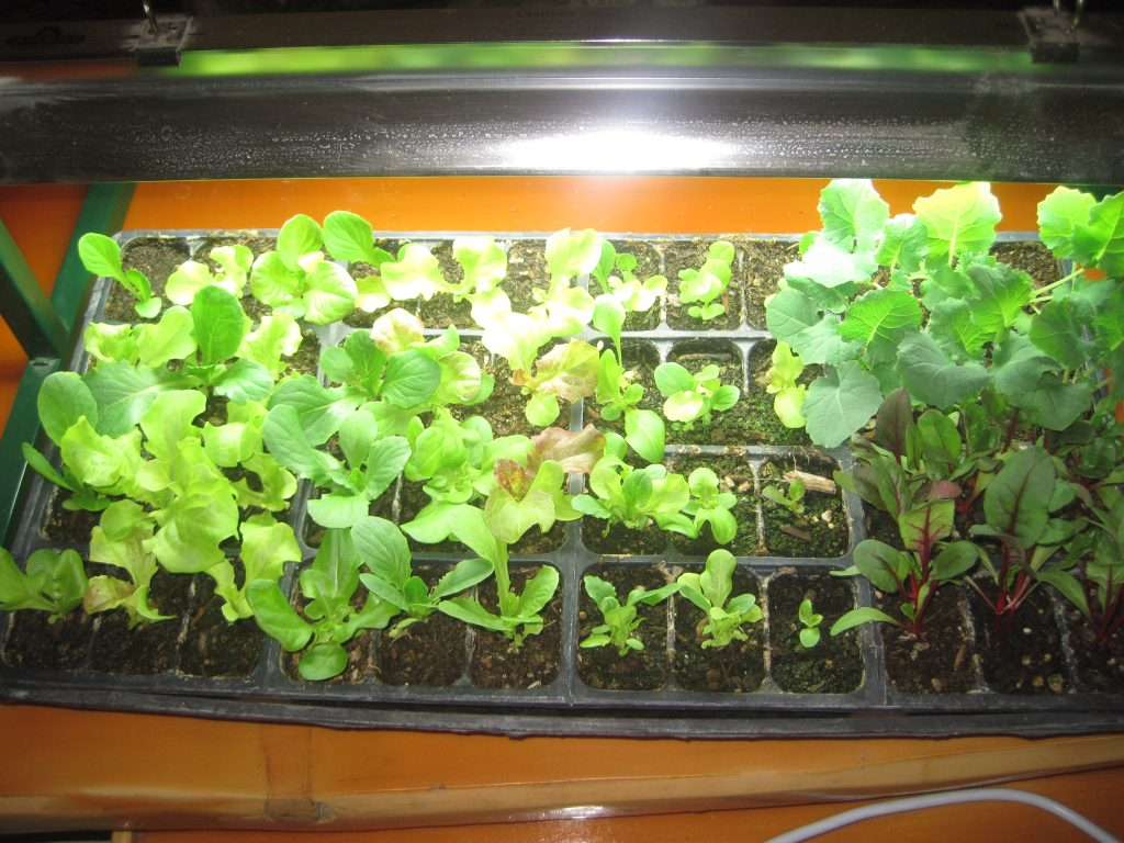 Growing Lettuce is a perfect part of Homesteading Beginning Skills