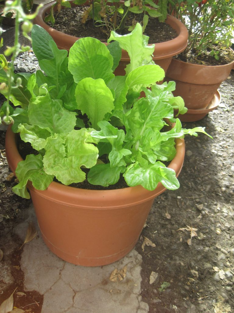 Lettuces Planted in Pots in Greenhouse