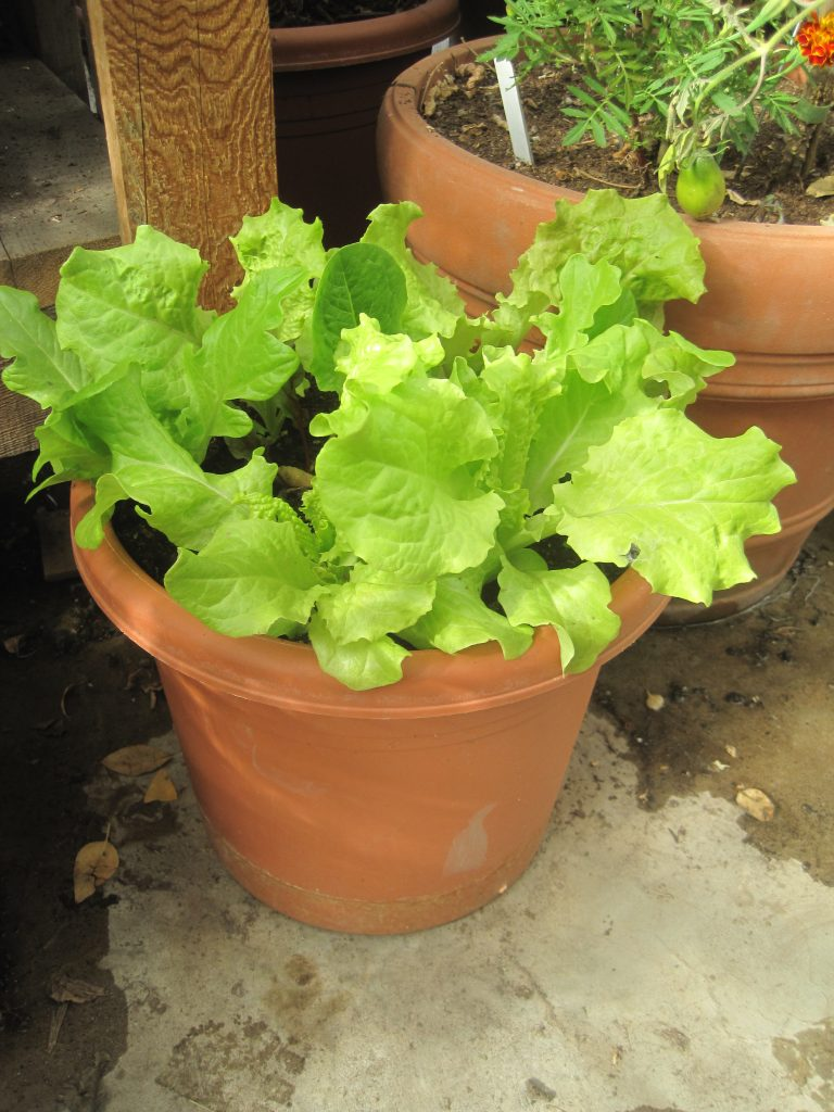 Black Seeded Simpson Lettuce Plants in Greenhouse Garden Pots