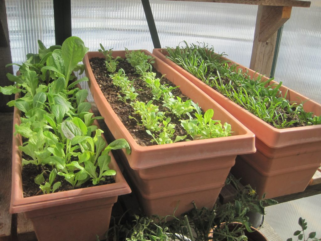 Starting Lettuces, Greens and Spinach in Planters in the Greenhouse
