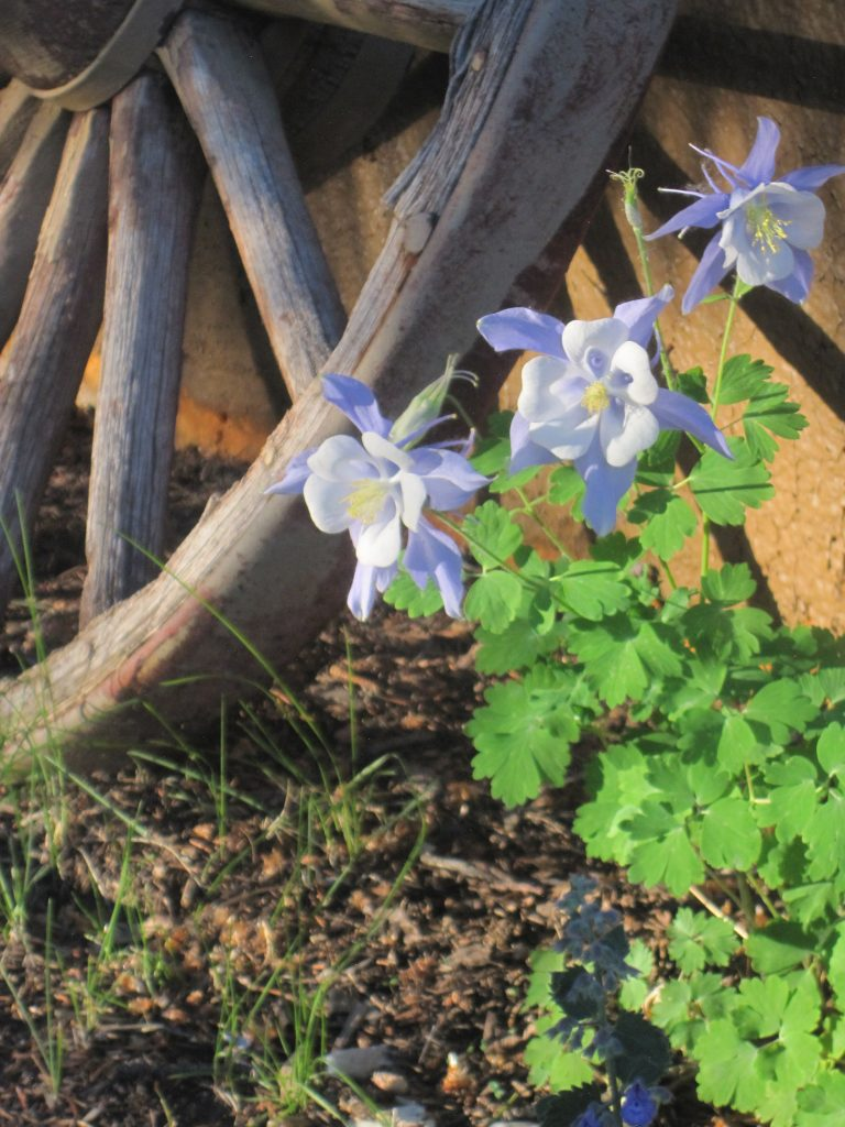 Columbine and Wagon Wheel