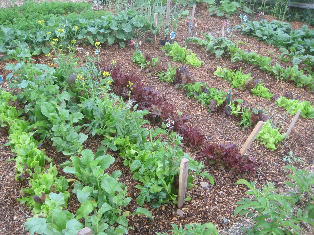 Greens and Lettuces Growing in the Garden