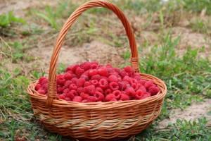 Basket of Raspberries that were just picked.