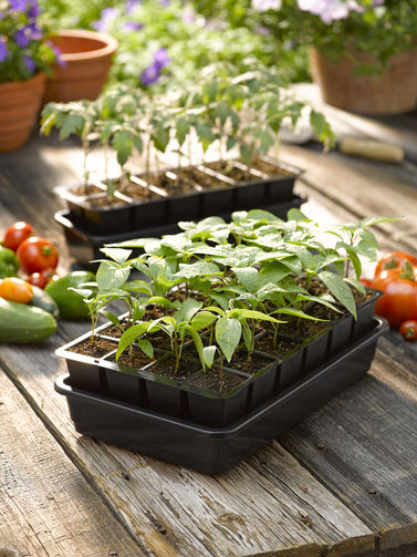 fresh young pepper plant seedlings growing in 4 inch pots that are ready to be planted in a garden or greenhouse