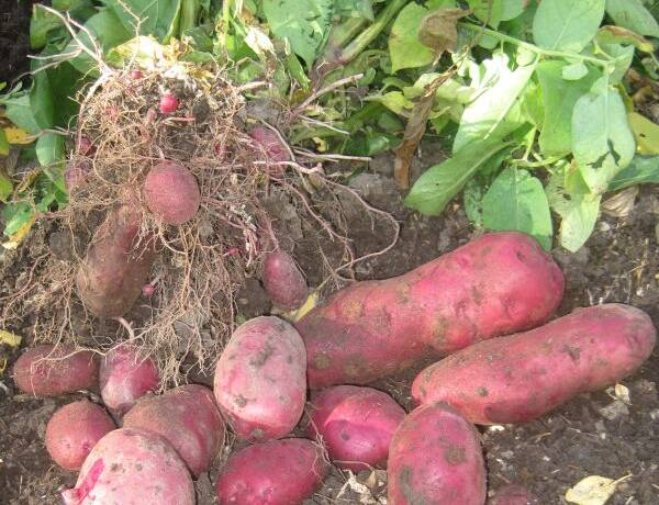 Adirondack Red Potatoes from Garden