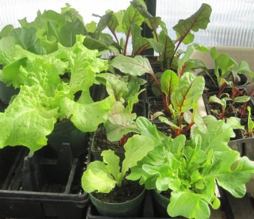 Starting Seedlings in Your Greenhouse to earn extra money.