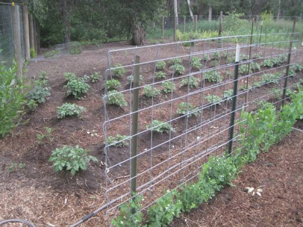 wire panels set up for a trellis for pea plants