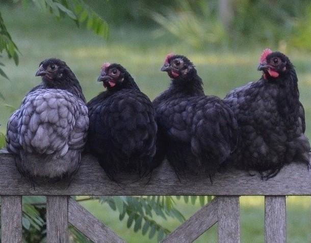 Black Australorp Pullets