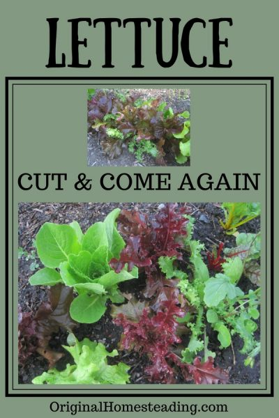How to Grow Cut & Come Again Lettuce