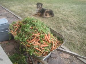 Fresh Carrot Ready for Winter Storage