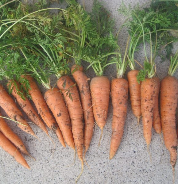 STORE YOUR GARDEN CARROTS | In Peat Moss for the Winter