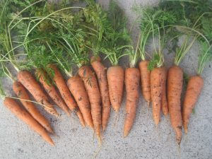 Storing Garden Carrots in Peat Moss