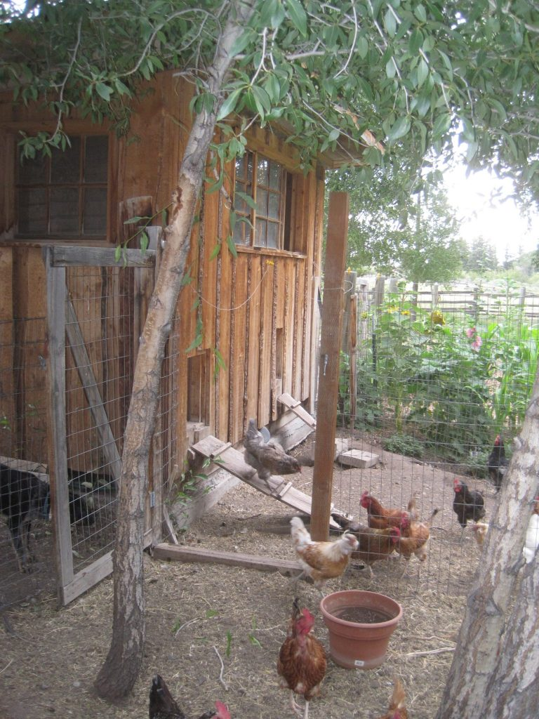 Chickens enjoy fresh air and sunshine in an outside pen or run.
