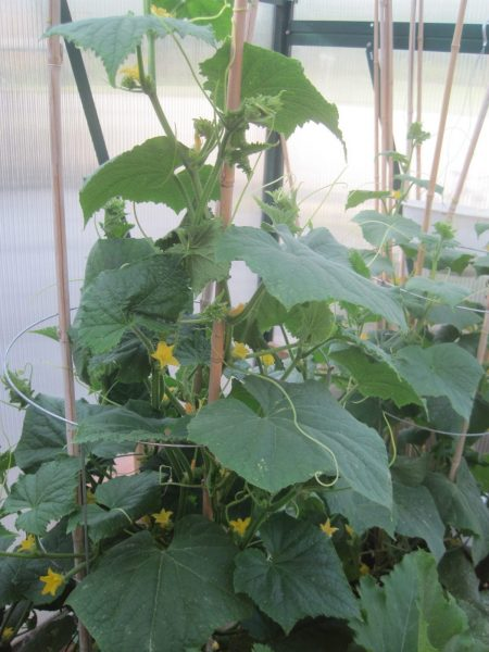 Cucumber plants growing in our Greenhouse.
