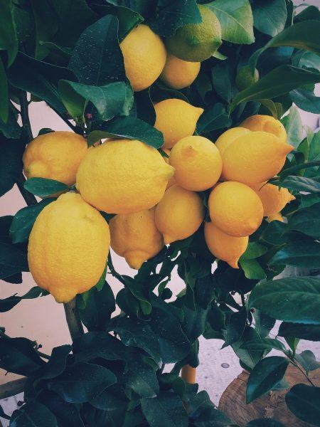 Drawf Lemon Tree with ripe lemons that are ready to pick