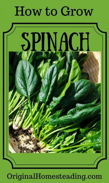 Easy Steps to Grow Spinach | How to Grow Series promo image