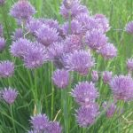 Flowering Chives are so easy to grow and are a wonderful addition to any kitchen garden or herb garden.