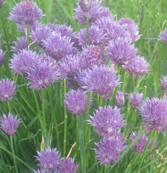 Growing Herbs for Beginners in Kitchen or Garden