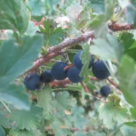 Foraging Wild Gooseberries