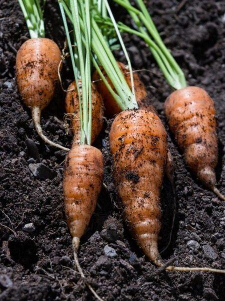 small fresh garden carrots