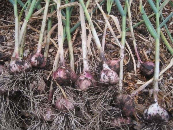 Fresh Dug Garlic