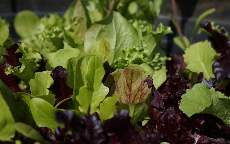 Fresh lettuces and spinach growing in a planter