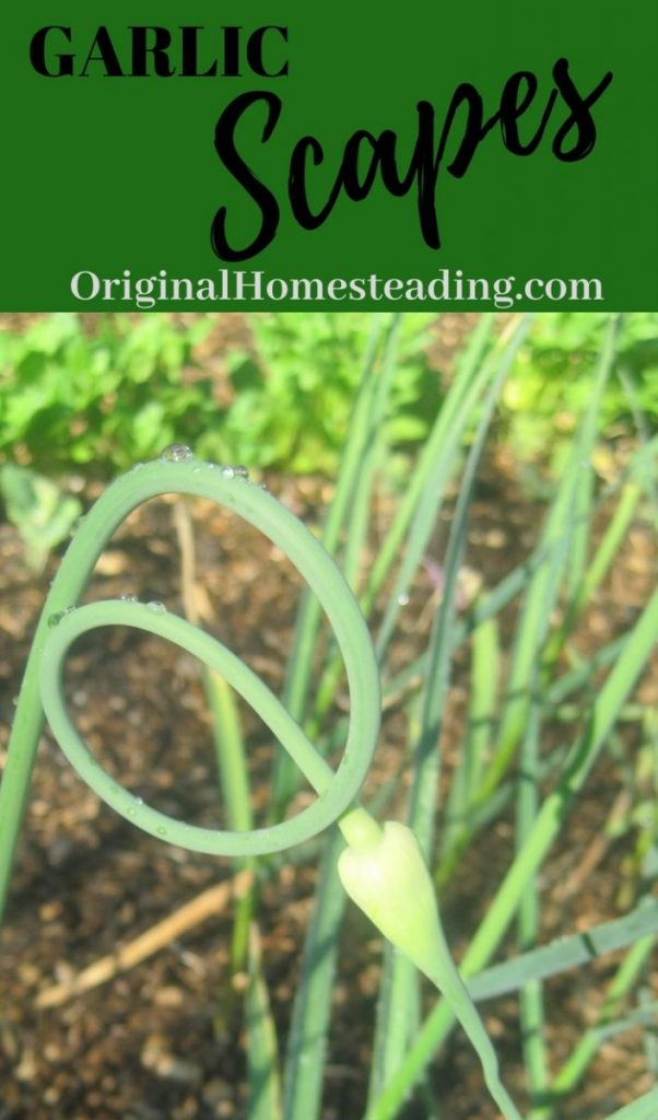 Wondering how to use garlic scapes? Found what garlic scapes are and how to use this early spring delicacy.