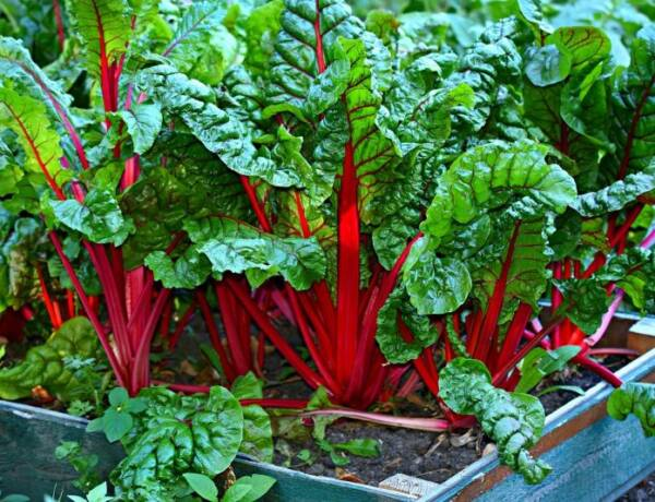Garden Chard with red stems