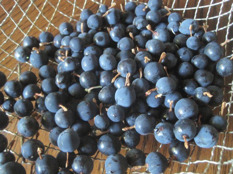 Freshly Picked Wild Gooseberries (4)