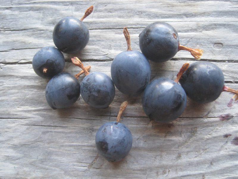 Wild Gooseberries