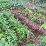 Learn about how to plant a kitchen garden or small salad garden.