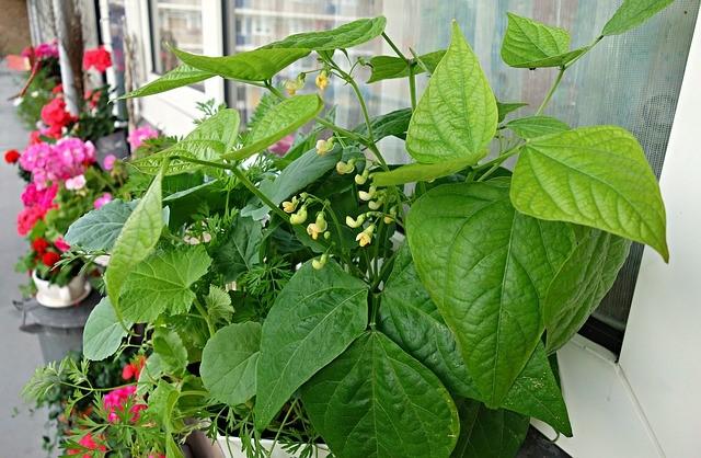Green-Bean-Flowers