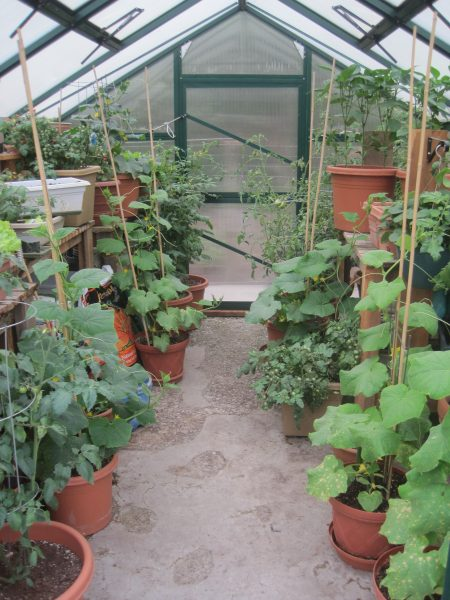 greenhouse full of cucumber and tomatoes plants growing in garden pots