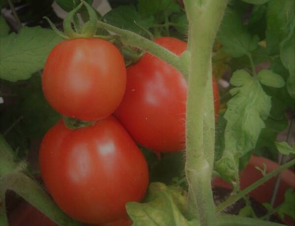 Greenhouse Tomatoes on Vine (2)