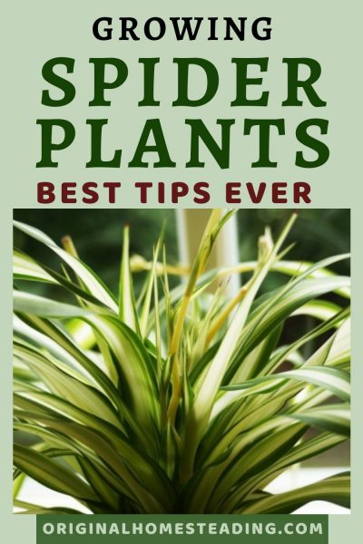 Spider Plant Care: Top Tips for the Best Spider Plants Ever! promo image
