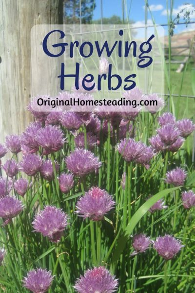 Learning how to begin Growing Herbs is an excellent way to start a gardening adventure.