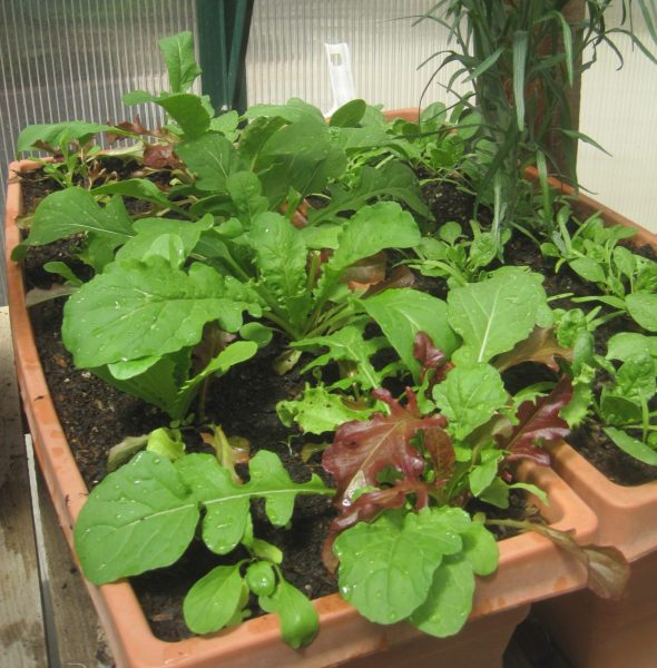 Lettuces Growing in a Planter