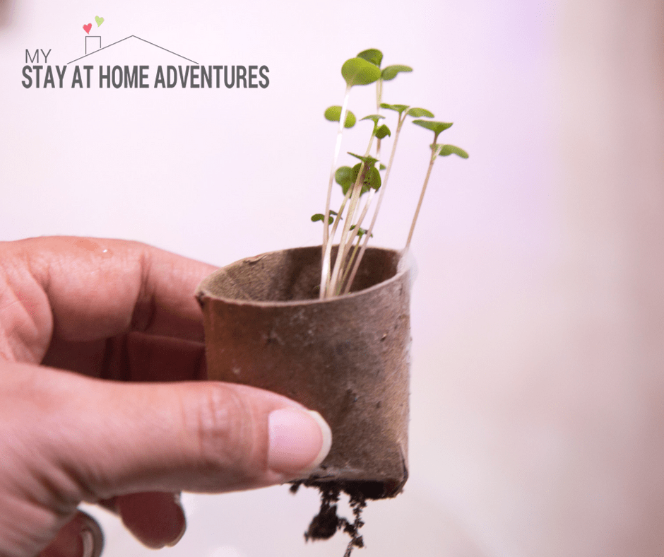 seedlings started in paper tubes that are now ready to plant in the garden or greenhouse
