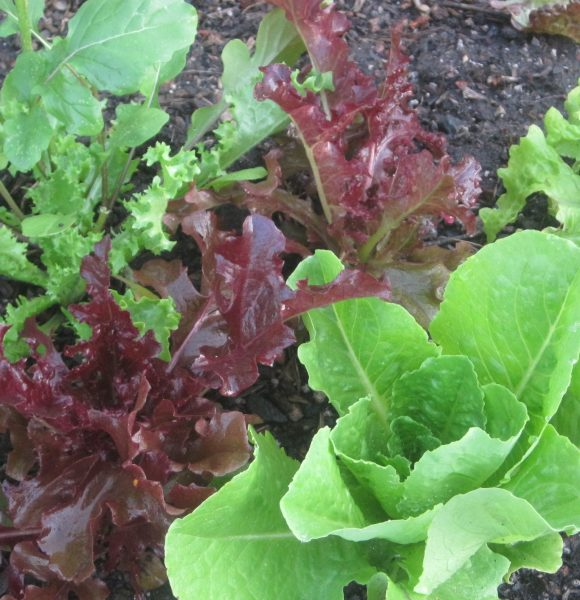 Secret to Growing Lettuce and Greens