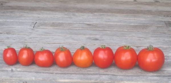 eight Tomatoes from our greenhouse lined up in a row on a wooden porch