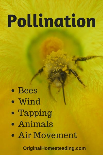 Pollination is extremely important for proper fertilization of all plants especially zucchini plants in a Greenhouse setting.