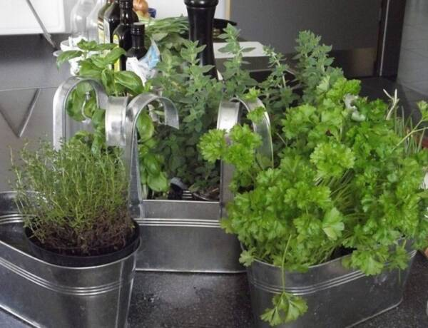 Indoor Herbs growing in small pots