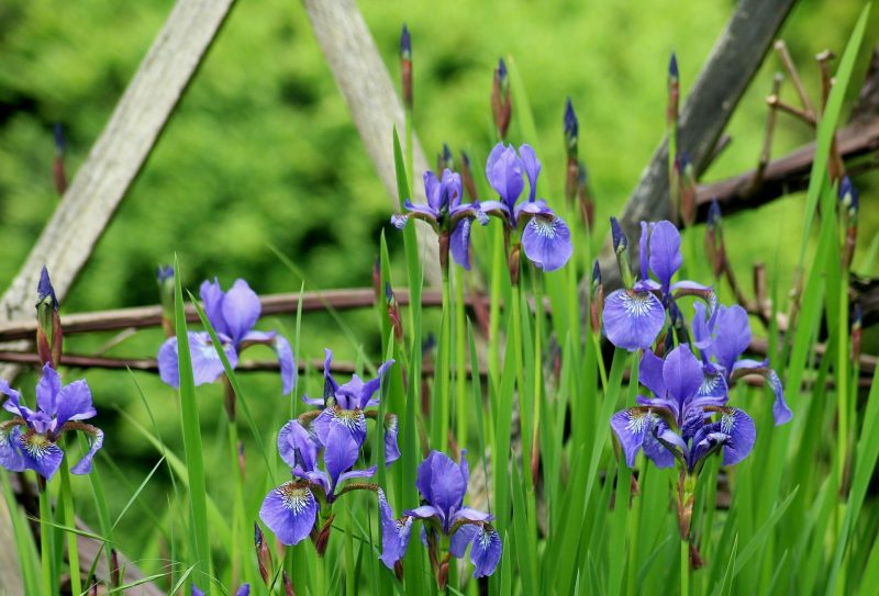 how to grow perennial plants