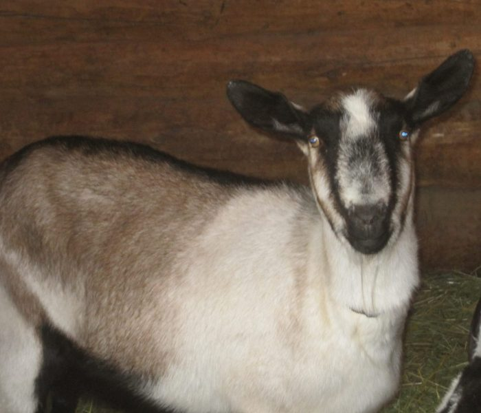 Dairy Goats & Goat Milk | Learn the Basics